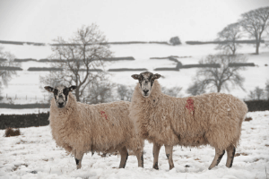 raising goats and sheep together, sheep in winter