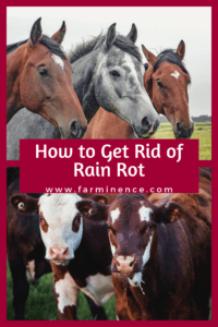 what is rain rot, best treatment for rain rot, rain rot horses
