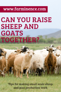 raising sheep and goats together, raise goats and sheep together