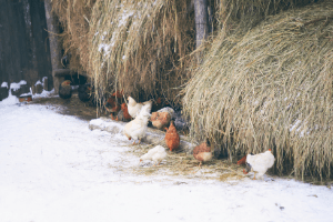 keeping backyard chickens in winter