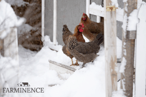 keeping chicken water from freezing, chickens in winter