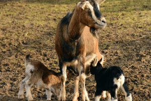 treating bottle jaw in goats