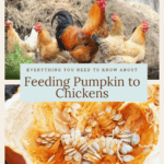 can chickens eat pumpkin