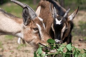 worming goats with bottle jaw and anemia
