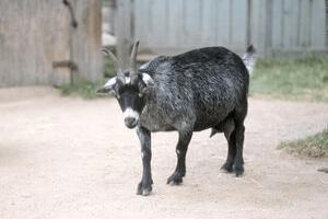 pygmy goat colors, pygmy goats as pets