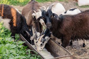 raising pygmy goats, pygmy goats as pets
