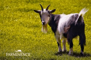 The Complete Guide to Pygmy Goats
