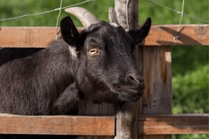 fence for pygmy goats