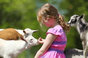 pygmy goats and kids, pygmy goats as pets