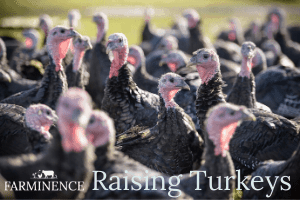 how to raise turkeys