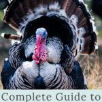 raising turkeys tom