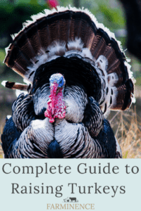 how to raise turkeys at home