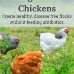 oregano for chickens, feeding oregano to chickens