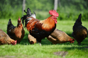 internal parasites in chickens, chickens on pasture
