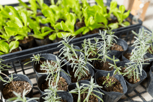 how to grow herbs from seeds