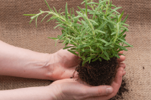 how to transplant herbs