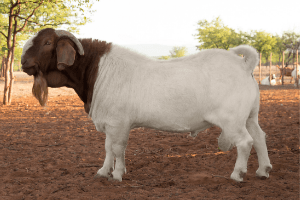 best meat goat breeds