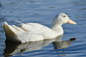 Aylesbury duck, duck breeds, breeds of duck