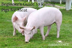 raising pigs for meat for beginners
