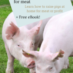 raising pigs for meat, raising pigs for beginners