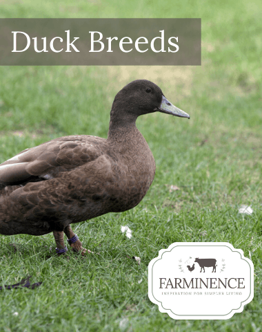 duck breeds, breeds of duck