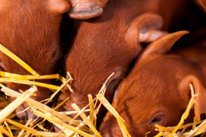 duroc pigs, meat pig breeds, red meat hog breed