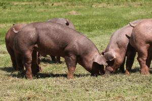 duroc pig, meat pig breeds, red pig breed