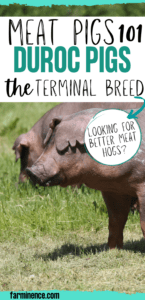 duroc pigs, meat pig breeds, red meat hog