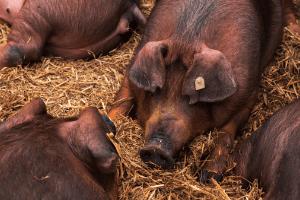 duroc pigs, meat hog breeds, red pig breed