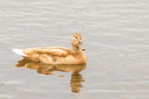 golden 300 hybrid duck, duck breeds, breeds of duck