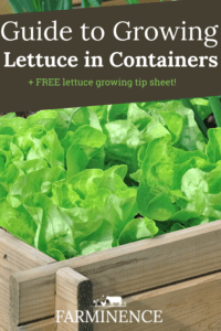 growing lettuce, how to grow lettuce in containers.
