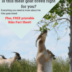 meat goat breeds, kiko goats