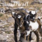 raising Nigerian dwarf goats, Nigerian dwarf goat breed