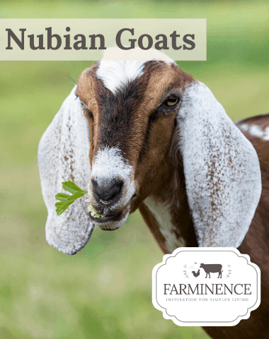 nubian goats, raising nubians