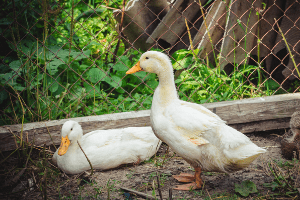 Pekin duck, duck breeds, breeds of duck
