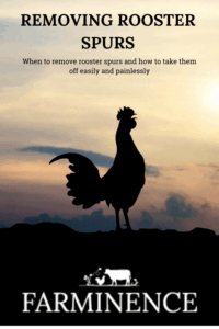 how to remove rooster spurs, removing rooster spurs