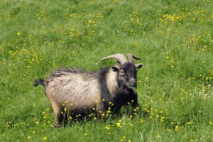 selenium deficiency in goats, preventing selenium deficiency goats, white muscle disease goats