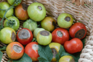 does bone meal fertilizer help prevent blossom end rot, bone meal fertilizer