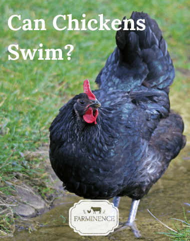 can chickens swim, keeping chickens cool