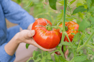 when to pick tomatoes, how to know when to pick tomatoes from the garden