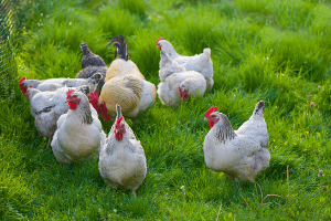what to feed chickens, how to feed backyard chickens