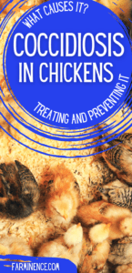 sick baby chicks, what is coccidiosis in chickens