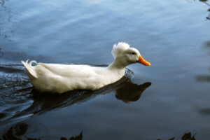 white crested duck, duck breeds, breeds of duck
