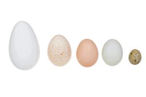 duck eggs vs chicken eggs, duck eggs