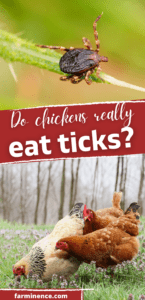 will chickens eat ticks, do chickens eat ticks, will chickens eat bugs out of the yard