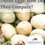 duck eggs, duck eggs vs chicken eggs