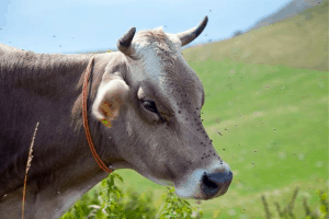 best methods of fly control, keeping flies off of cows, horses, cattle, goats, chickens