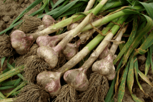 how to dehydrate garlic, what to do with fresh garlic
