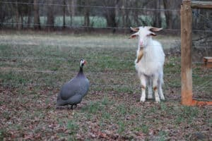 best fencing for pygmy and dwarf goats