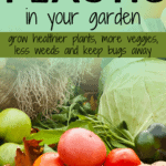 plasticulture, using black plastic in the garden, how to keep pests off of plants